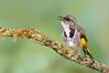 Crescent Honeyeater - Phylidonris pyrrhopterus (Walkerville South, Vic)
