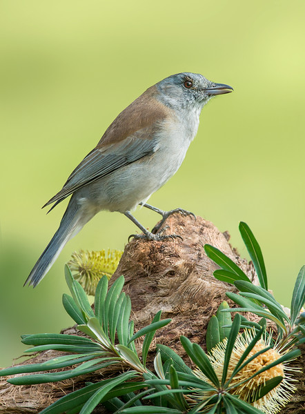Grey Shrike-thrush - Colluricincla harmonica (Walkerville, Vic)