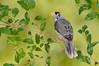Noisy Miner - Manorina melanocephala (Surrey Hills, Vic)