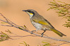 Singing Honeyeater - Lichenostomus virescens (ssp sonorous) (Tresco West, Victoria)