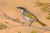 Singing Honeyeater - Lichenostomus virescens (ssp sonorous) (Tresco West, Victoria)