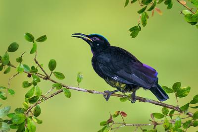 Victoria's Riflebird (male) - Ptiloris victoriae (Atherton, Qld)