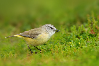 Yellow-rumped Thornbill - Acanthiza chrysorrhoa (You Yangs, Vic)