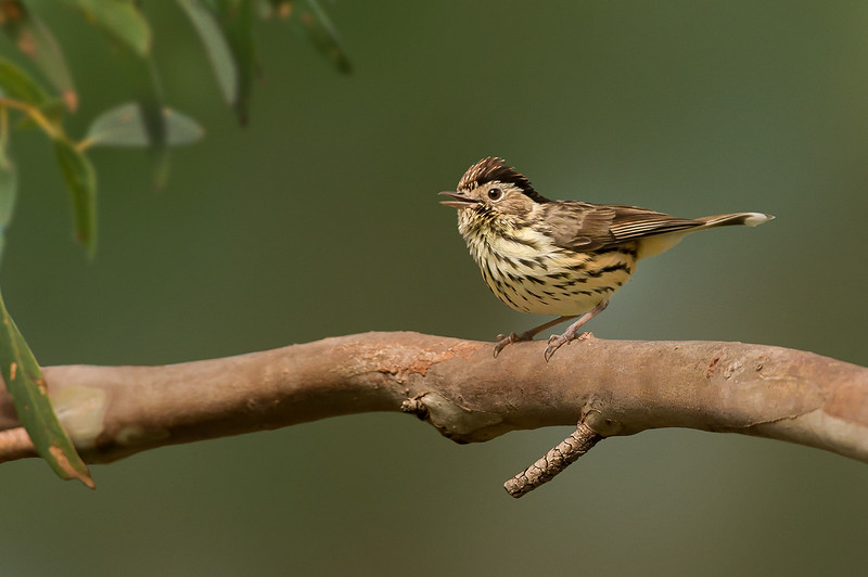 Speckled Warbler - Chthonicola sagittata (You Yangs, Vic)