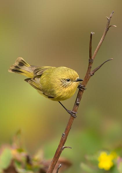 Yellow Thornbill - Acanthiza nana (You Yangs, Vic)