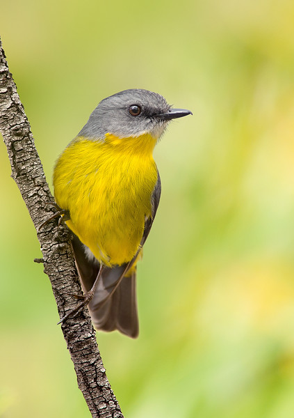Eastern Yellow Robin - Eopsaltria australis (You Yangs, Vic)