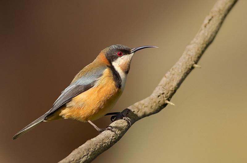 Eastern Spinebill - Acanthorhynchus tenuirostris (Yarra Flats, Vic)
