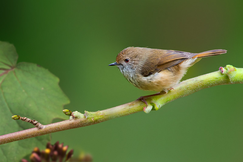 Brown Thornbill - Acanthiza pusilla (Belgrave, Vic)