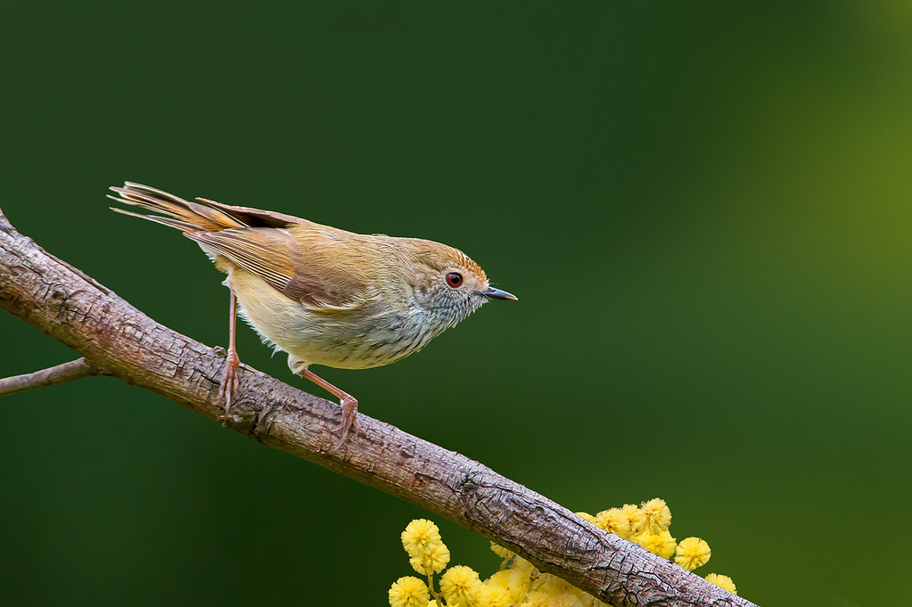 Brown Thornbill - Acanthiza pusilla (You Yangs, Vic)