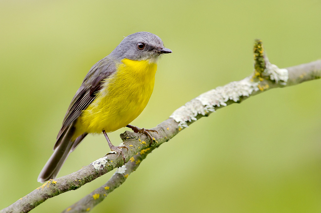 Eastern Yellow Robin - Eopsaltria australis (Yarra Flats, Vic)