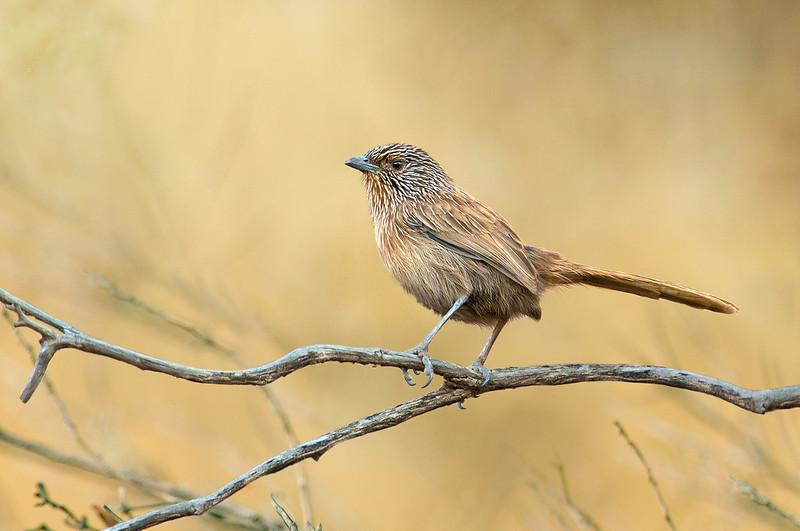Dusky Grasswren - Amytornis purnelli (Ormiston NT)