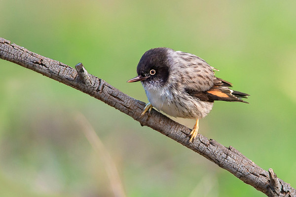 "Varied Sittella - Daphoenositta chrysoptera (nominate race chrysoptera, ""Orange-winged Sittella"") (f), Woodlands Historic Reserve, Vic"
