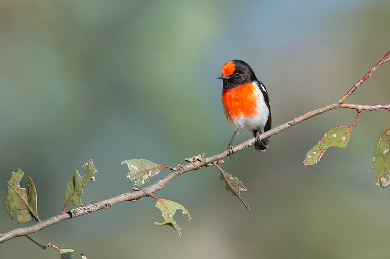 Red-capped Robin - Petroica goodenovii (m) (Woodlands Historic Reserve, Vic)