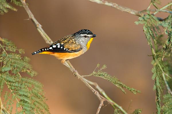 Spotted Pardalote - Pardalotus punctatus (Moama, NSW)
