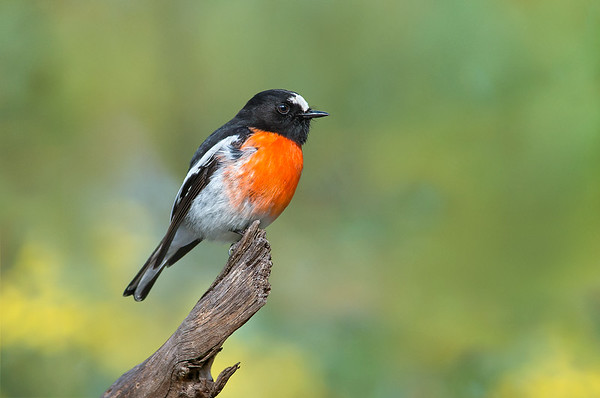 Scarlet Robin - Petroica boodang (m) (You Yangs, Vic)