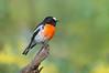 Scarlet Robin - Petroica boodang (m) (You Yangs, Vic)