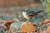 White-browed Babbler - Pomatostomus superciliosus (Alice Springs, NT)