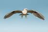 Black-shouldered Kite - Elanoides axillaris (Western Treatment Plant, Vic)