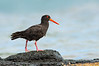 Sooty Oystercatcher - Haematopus fuliginosus (Flinders, Vic)