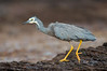 White-faced Heron - Egretta novaehollandiae (Flinders, Vic)