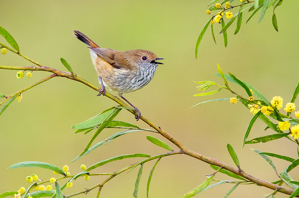 Brown Thornbill - Acanthiza pusilla (Melbourne, Vic)
