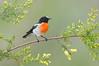 Scarlet Robin - Petroica Boodang (Melbourne, Victoria)