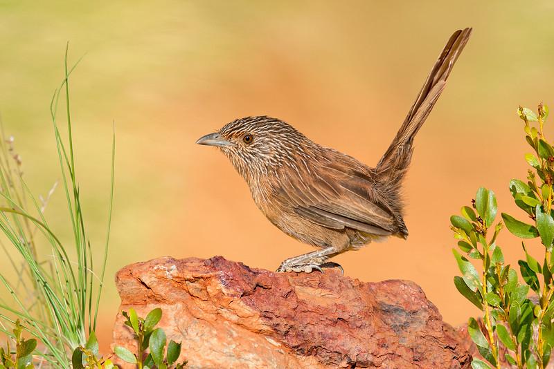 Dusky Grasswren – Amytornis purnelli (Ormiston, Northern Territory)