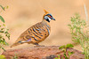 Spinifex Pigeon – Geophaps plumifera (Ormiston, Northern Territory)