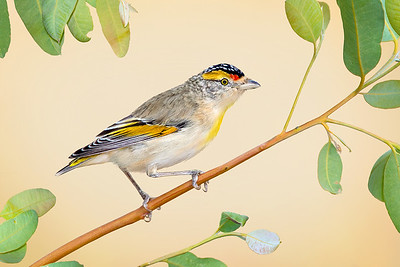 Red-browed Pardalote – Pardalotus rubricatus (Ross River, Northern Territory)