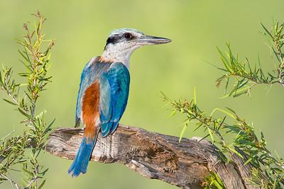 Red-backed Kingfisher – Todiramphus pyrrhopygius (Watarrka NP, Northern Territory)