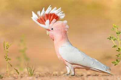 Major Mitchell's Cockatoo – Lophochroa leadbeateri (ssp mollis) (Luritja Road, Northern Territory)