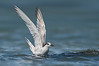 Common Tern - Sterna hirundo (Western Treatment Plant, Vic)