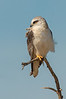 Black-shouldered Kite - Elanus axillaris (Western Treatment Plant, Vic)