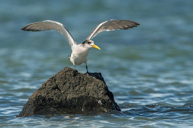 Crested Tern - Thalassues bergii (Western Treatment Plant, Vic)