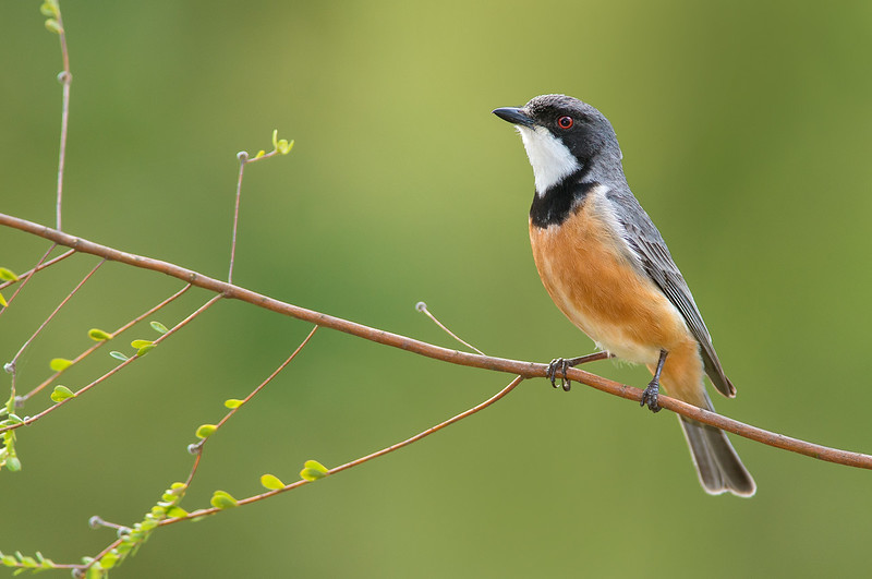 Rufous Whistler - Pachycephala rufiventris (m) (Lysterfield, Vic)
