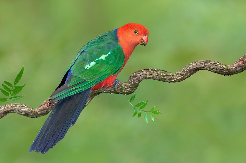 Australian King Parrot - Alisterus scapularis (Sherbrooke NP, Vic)