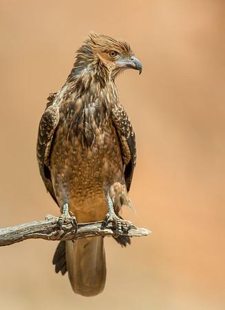 Whistling Kite - Haliastur sphenurus (Alice Springs, NT)