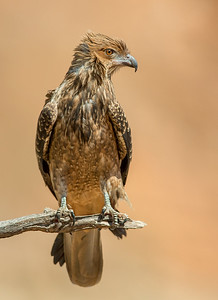 Whistling Kite - Haliastur sphenurus (Alice Springs, NT)