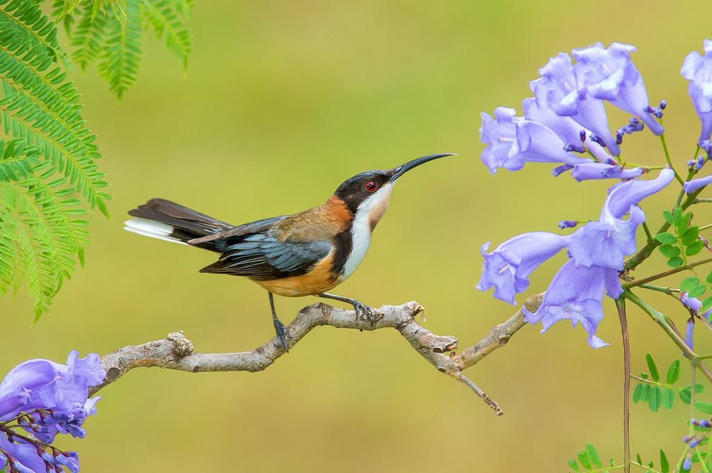 Eastern Spinebill - Acanthorhynchus tenuirostris (Surrey Hills, Vic)