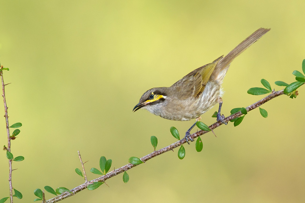 Yellow-faced Honeyeater - Lichenostomus chrysops (Lysterfield, Vic)