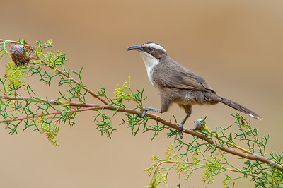White-browed Babbler - Pomatostomus superciliosus (Warby Ranges, Vic)