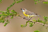 White-throated Gerygone - Gerygone albogualris (Warby Ranges, Vic)