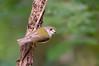 Pale-yellow Robin - Tregellasia capito (Julatten, Qld)