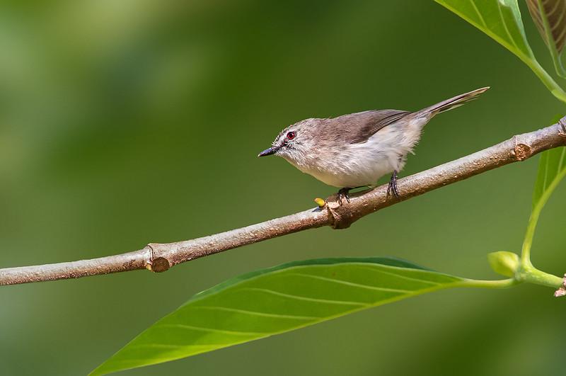 Brown Gerygone - Gerygone mouki (ssp mouki) (Mowbray NP, Qld)