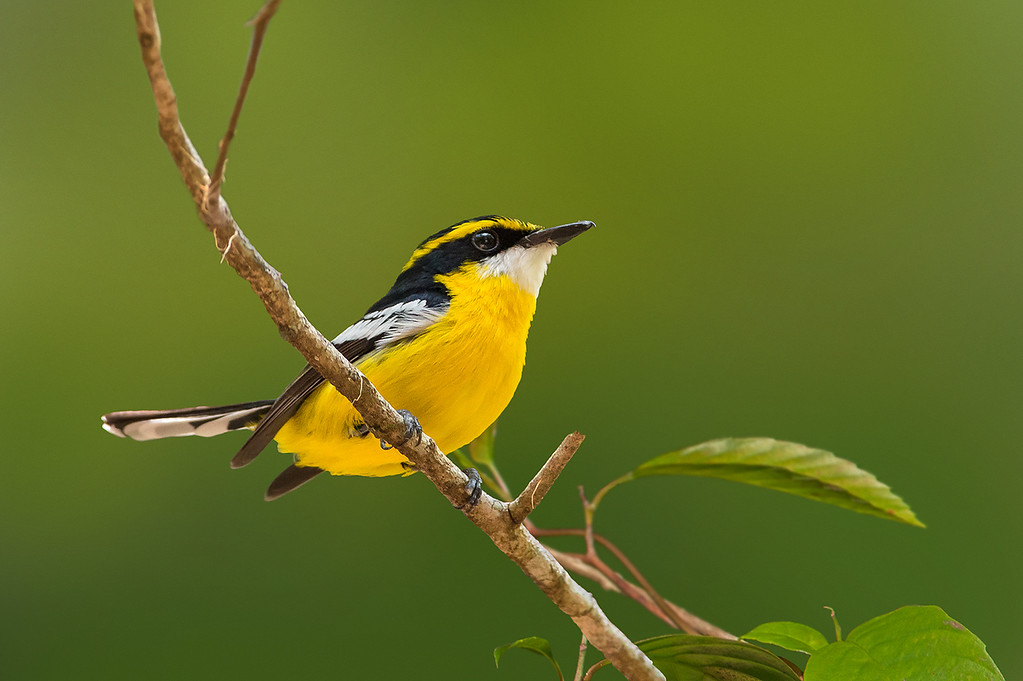 Yellow-breasted Boatbill - Machaerirhynchus flavienter (Julatten, Qld)