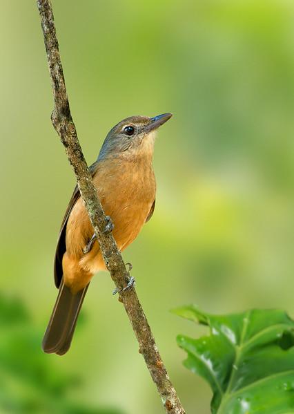 Bower's Shrike-thrush - Colluricincla boweri (Hasties Swamp, Atherton, Qld)