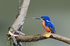 Azure Kingfisher - Ceyx azureus (Daintree River, Daintree, Qld)