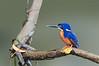 Azure Kingfisher - Ceyx azureus (Daintree River, Daintree, Qld)
