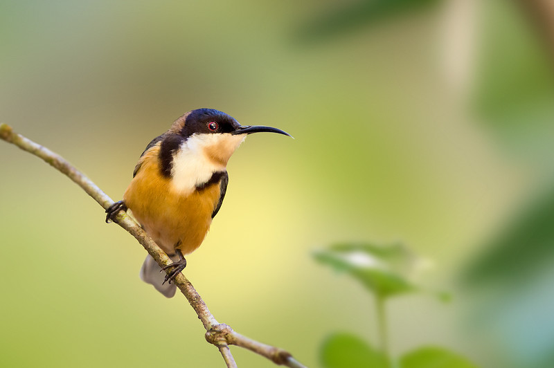 Eastern Spinebill - Acanthorhynchus tenuirostris (ssp dubuis) (Mt Lewis, Qld)