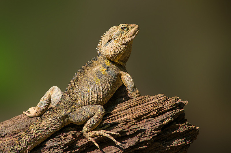 Water Dragon - Physignathus lesueurii (Daintree River, Qld)